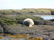 Seal sleeps on rocks, The Farnes Islands