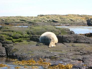 Seal sleeps on rocks, The Farnes Islands
