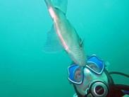 Triggerfish makes eye contact