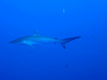 Silky Shark in the Red Sea