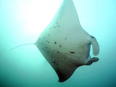 Can you identify this manta ray?