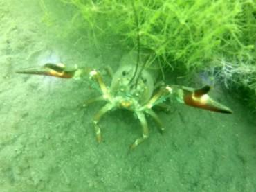 red signal crayfish
