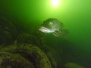Pike at Brogborough lake